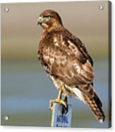 Perched Red Tail Hawk Acrylic Print