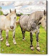 Percherons Horses Acrylic Print