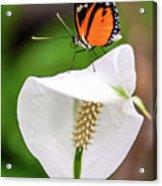 Perching Butterfly Acrylic Print