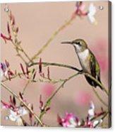 Perching Ruby-throated Hummingbird Acrylic Print
