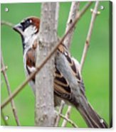Perching Sparrow Acrylic Print