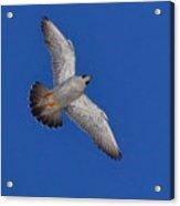 Peregrine Falcon I Acrylic Print