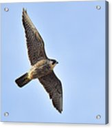 Peregrine Falcon In Flight Acrylic Print