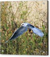Peregrine Falcon Trips Acrylic Print