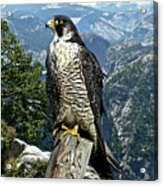 Peregrine Falcon, Yosemite Valley, Western Sierra Nevada Mountain, Echo Ridge Acrylic Print