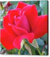 Perfect Form - Knock Out Rose Acrylic Print