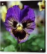 Perfect Pansy  Acrylic Print