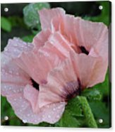 Perfect Peach Poppy Acrylic Print