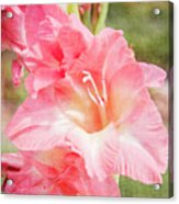 Perfect Pink Canna Lily Acrylic Print