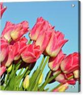 Perfect Pink Tullips Acrylic Print