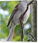 Perfect Profile - Chipping Sparrow Acrylic Print