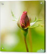 Perfect Red Rose Bud  Acrylic Print