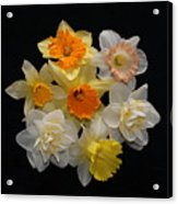 Perfect Ring Of Daffodils Acrylic Print