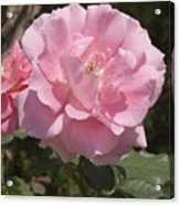 Perfect Rose Acrylic Print