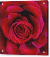 Perfect Rose Acrylic Print