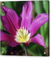 Perfect Single Dark Pink Tulip Flower Blossom Blooming Acrylic Print