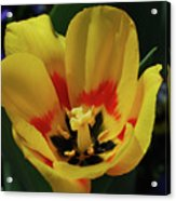 Perfect Yellow And Red Flowering Tulip In A Garden Acrylic Print