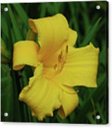 Perfect Yellow Daylily Flowering In A Garden Acrylic Print