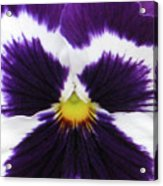 Perfectly Pansy 02 Acrylic Print