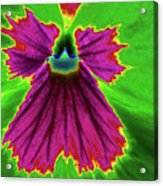 Perfectly Pansy 04 - Photopower Acrylic Print
