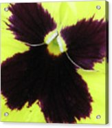 Perfectly Pansy 05 Acrylic Print