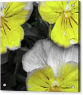 Perfectly Pansy 13 - Bw - Yellow Acrylic Print
