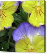 Perfectly Pansy 13 Acrylic Print