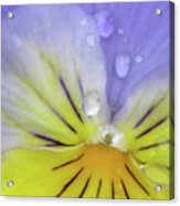 Perfectly Pansy 16 Acrylic Print