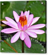 Perfectly Pink Acrylic Print