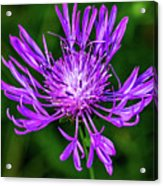 Perfectly Purple Acrylic Print