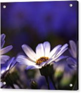 Pericallis On A Cool Spring Evening 4 Acrylic Print