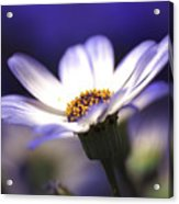 Pericallis On A Cool Spring Evening Acrylic Print