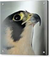 Perigrene Falcon Acrylic Print