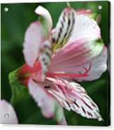 Perivian Lily With Ant Acrylic Print