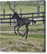 Perry's Colt Running Acrylic Print