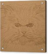 Persian Cat 4 Acrylic Print