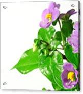 Persian Violets Acrylic Print