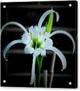 Peruvian Daffodil - 8x10 Acrylic Print