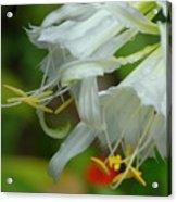 Peruvian Lilies 3 Acrylic Print