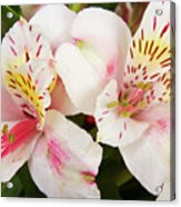Peruvian Lilies  Flowers White And Pink Color Print Acrylic Print