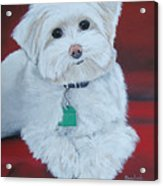 Pet Portrait Painting Commission Maltese Dog  Acrylic Print