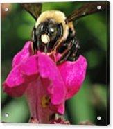 Petal Bumble Beeauty Acrylic Print