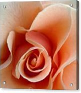 Petal Of Rose Acrylic Print