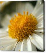 Petals And Pollen Acrylic Print