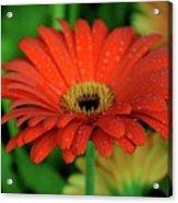 Petals With Droplets Acrylic Print
