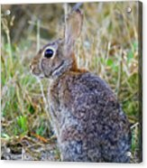 Peter Cottontail Acrylic Print