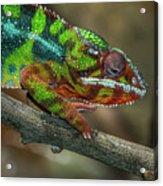 Ambilobe Panther Chameleon Acrylic Print