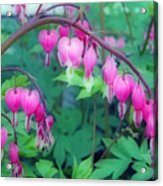 Pretty Little Bleeding Hearts Acrylic Print