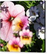 Petunia And Nemesia At Sunset Acrylic Print