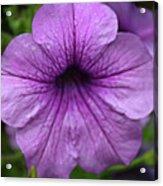 Petunia Acrylic Print